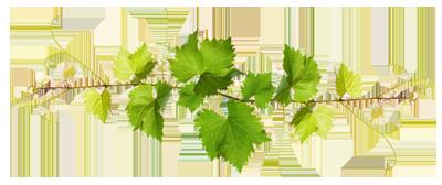 feuilles de vignes cave coopérative Les Vignerons du Quercy