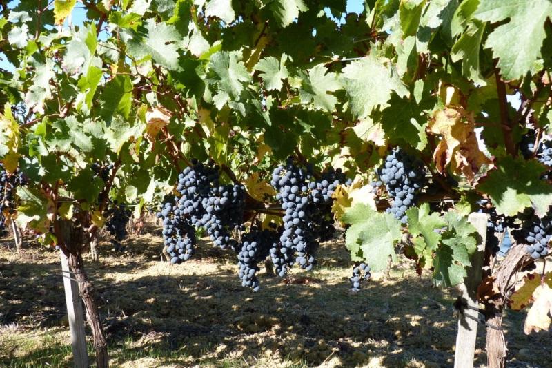 les vignes du Domaine de Lafage, propriétés de Kévin Barbet en Quercy