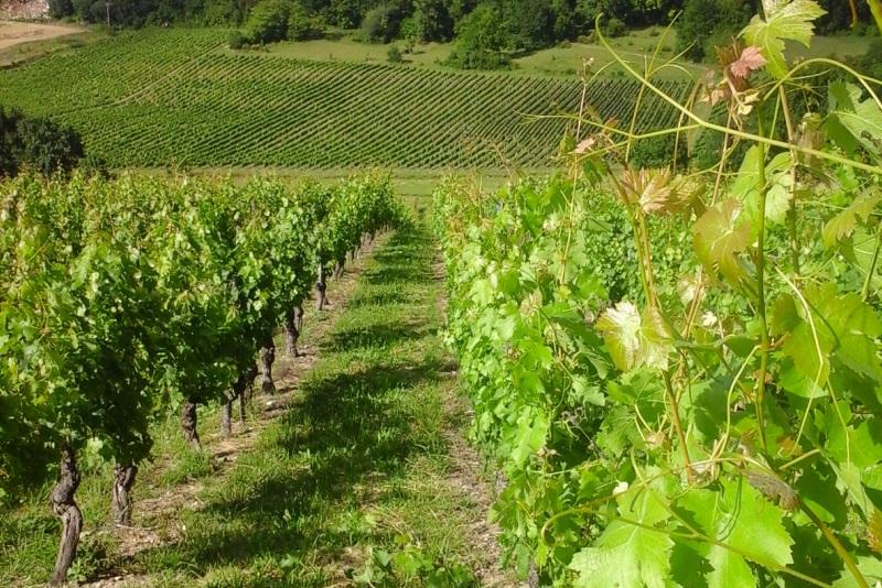 vignes du Domaine de Mazuc en AOC Coteaux du Quercy